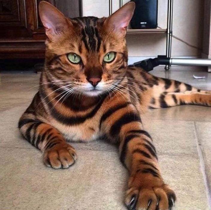 gato león