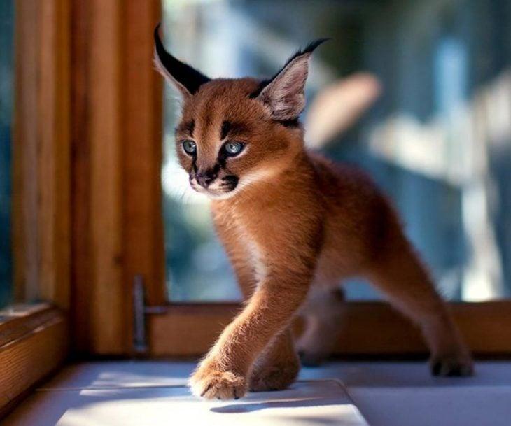 gato caracol