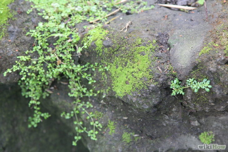 Musgo de suelo