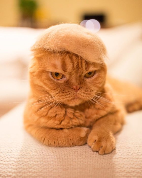 Gato con copete de Donald Trump