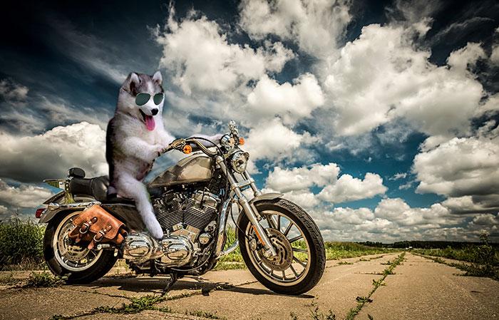Batalla Photoshop - Husky posando en una moto