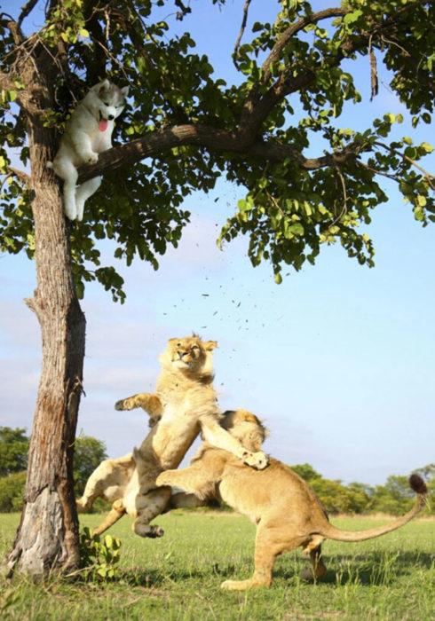 Batalla Photoshop - Husky escapando de los leones