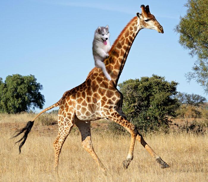 Batalla Photoshop - Husky en jirafa