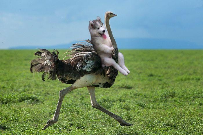 Batalla Photoshop - Husky en una avestruz