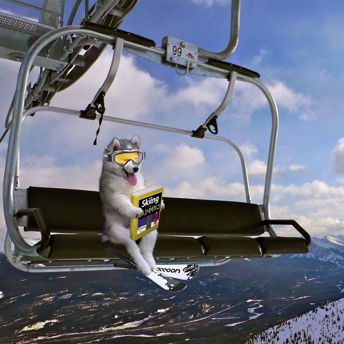 Batalla Photoshop - Husky carrito para esquiar
