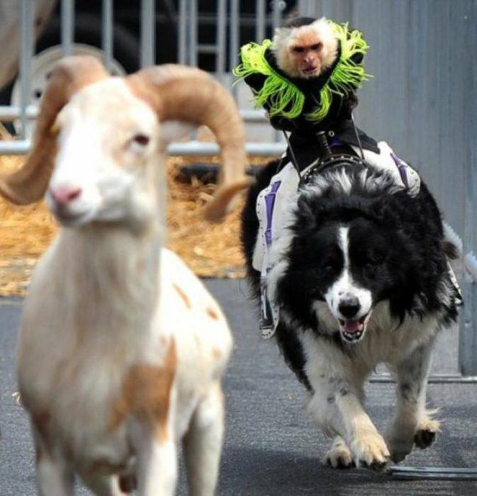 mono-perro-cabra