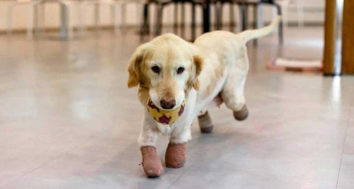 Chi Chi perrita Golden sin patas caminando