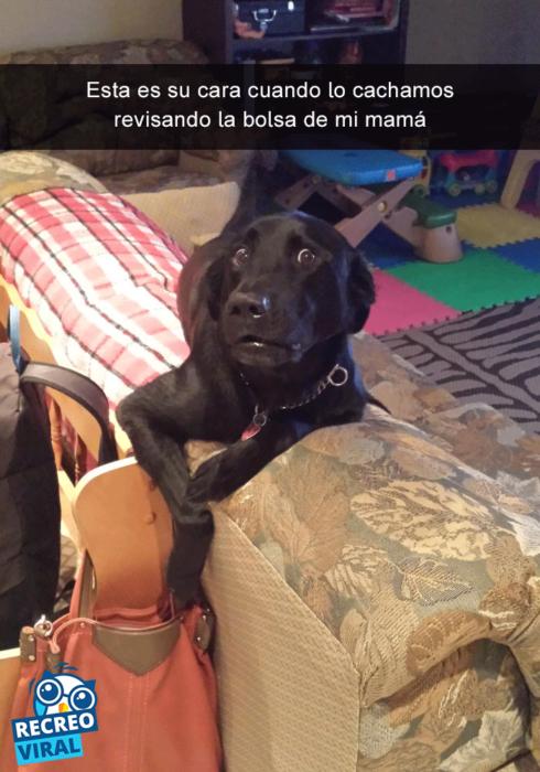 Snapchats perros - labrador cara de sorpresa
