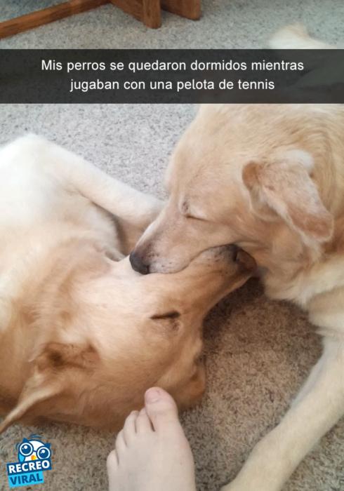 Snapchats perros - dos golden dormidos hocico a hocico