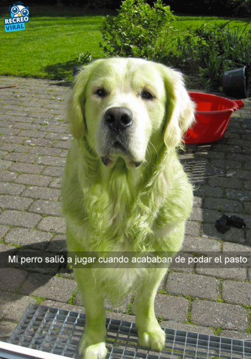 Snapchats perros - golden retriever verde