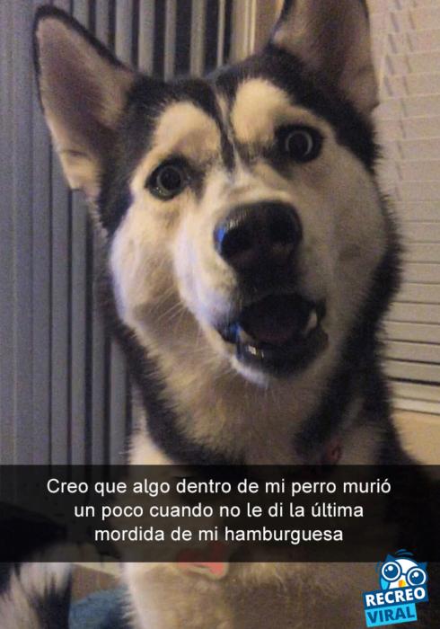Snapchats perros - husky cara de sorpresa