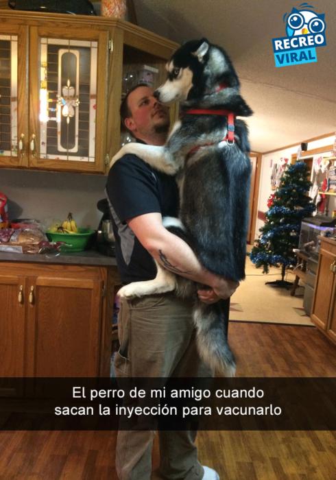 Snapchats perros - husky como bebé con su dueño