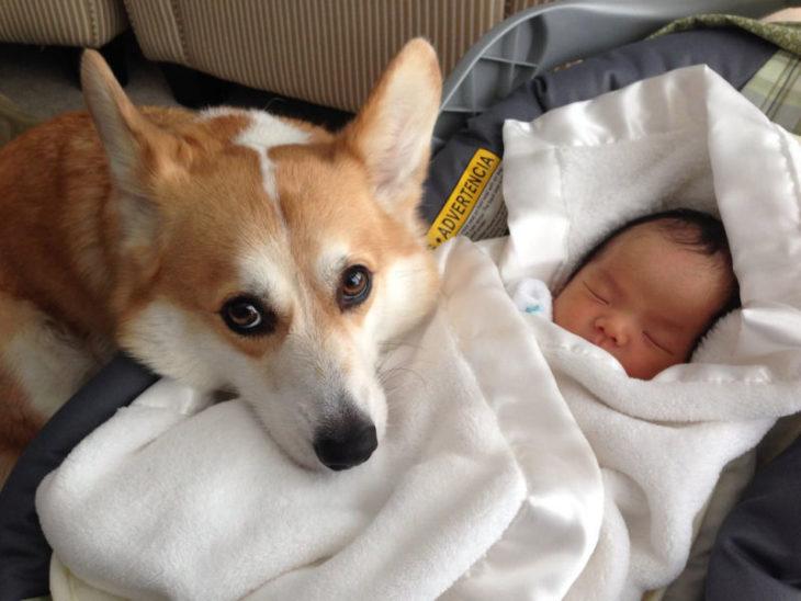 Corgi cuidando a recien nacido