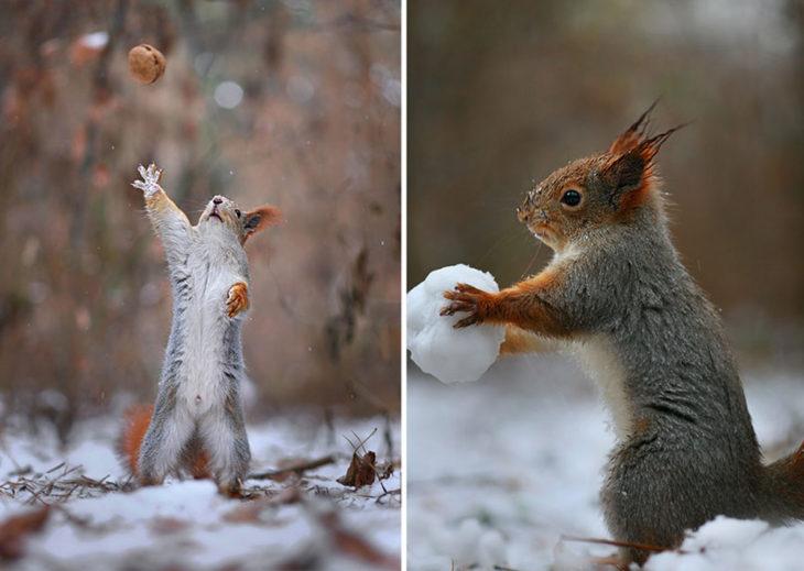 Ardillas jugando con bolas de nieve