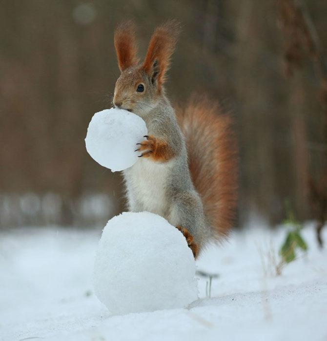Ardilla colocando una bola de nieve en el piso