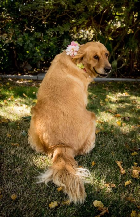 Perrita golden retriever embarazada