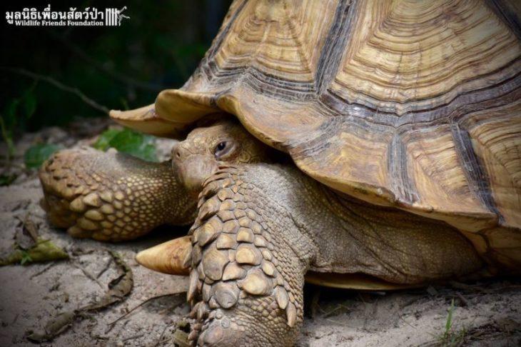 Leonardo es una tortuga rescatada