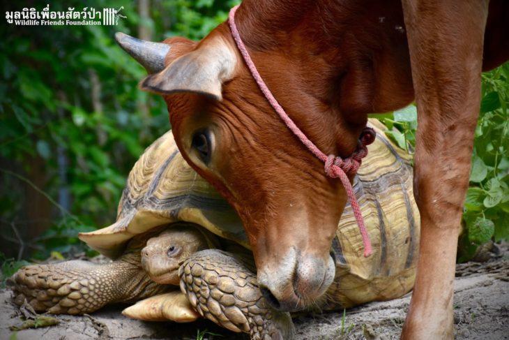 Tortuga gigante junto a un ternero