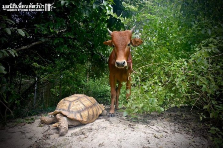 Tortuga y ternero