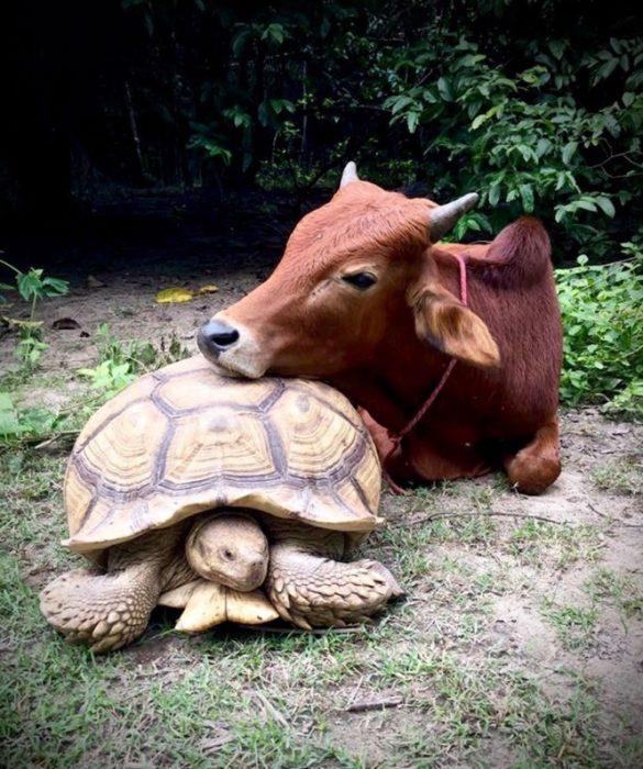 Tortuga gigante y ternero descansando juntos
