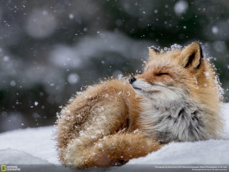 zorrito bajo la nieve