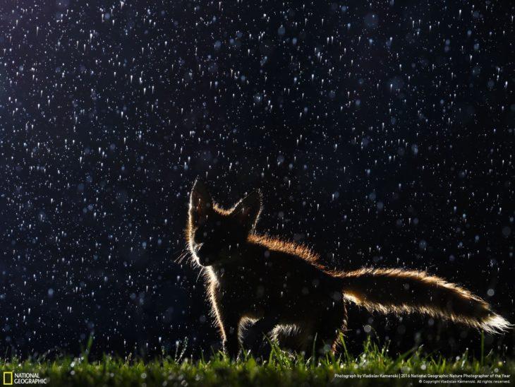 zorro en la noche