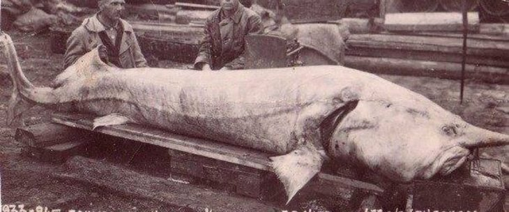 esturión beluga