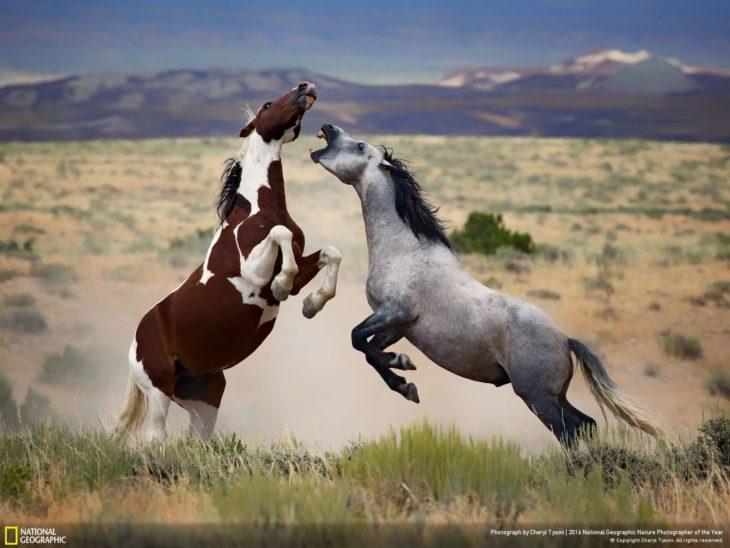 caballos peleando