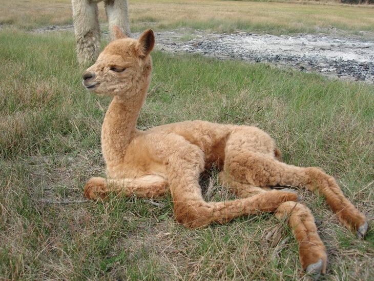 bebé camello