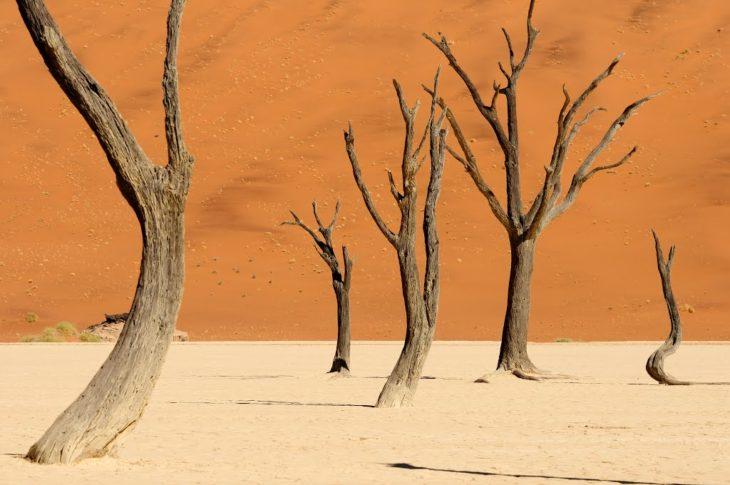 camelthorn de acacia