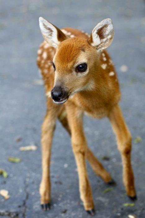 bebé ciervo