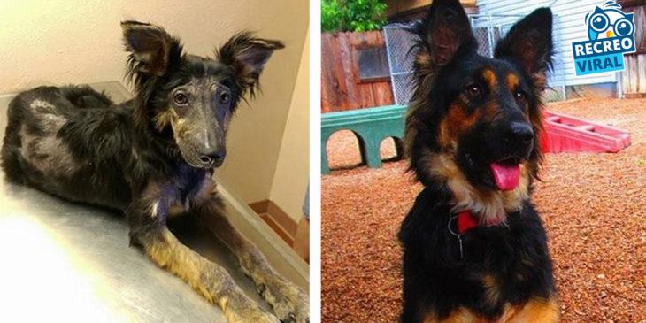 perrito desnutrido y mismo perro en condiciones sanas