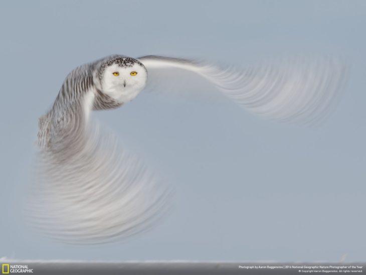 lechuza blanca vuela sobre paisaje nevado
