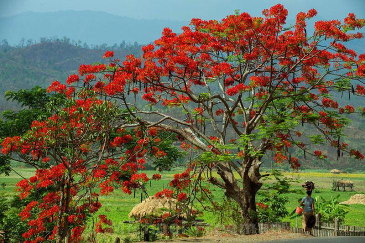 árbol de fuego