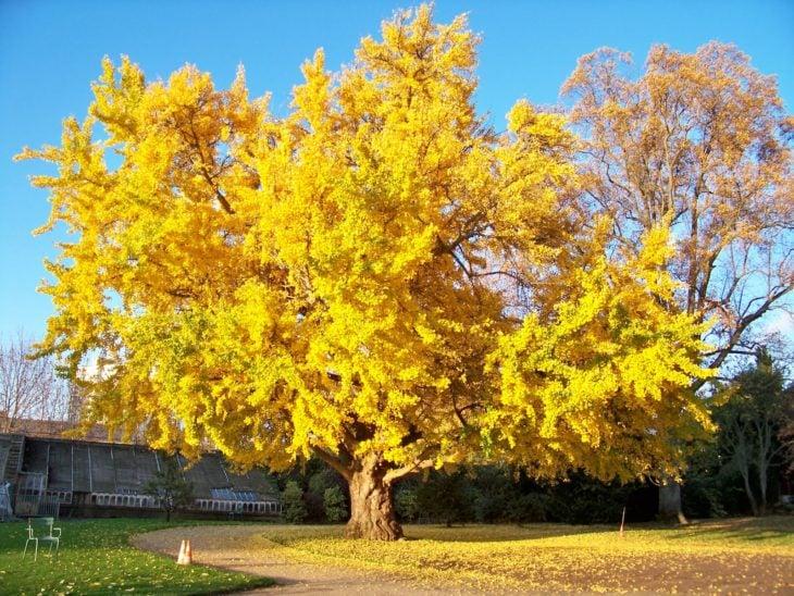 árbol ginko