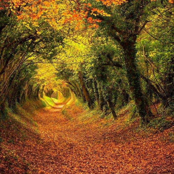 túnel de árboles en halnaker