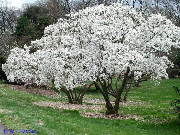 árbol blanco de magnolia