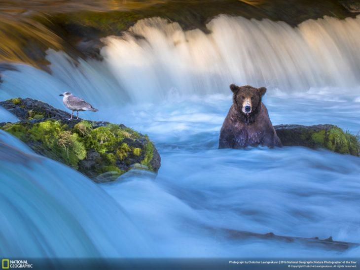 oso cazando pez en una cascada