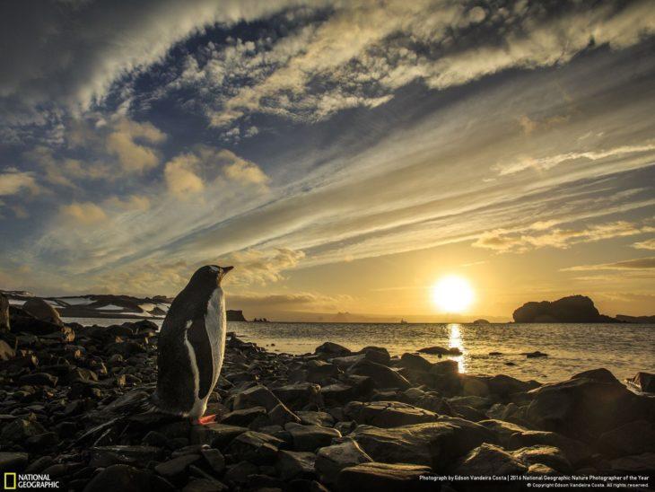 Pingüino admirando el continente congelado