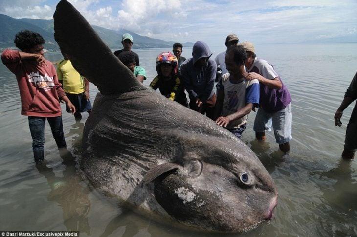 pez sol gigante