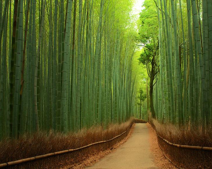túnel de bambu en japón