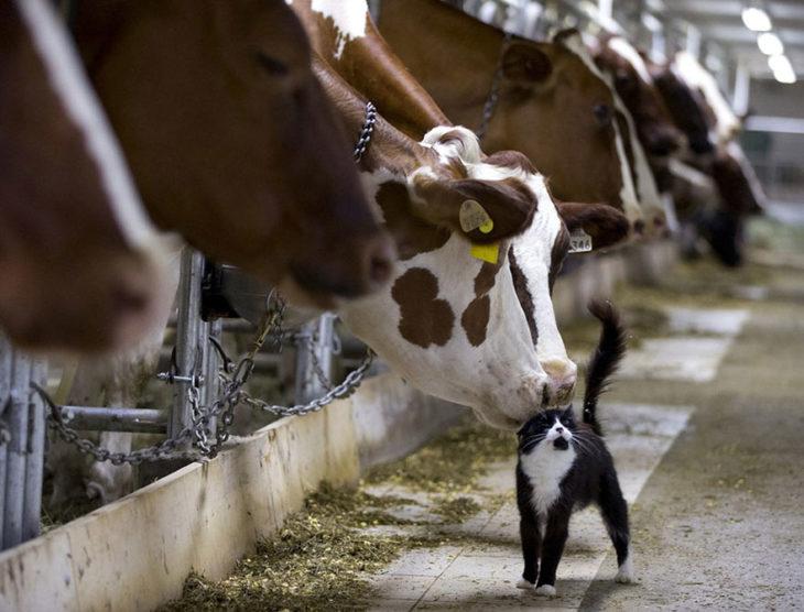vacas besan a gatito