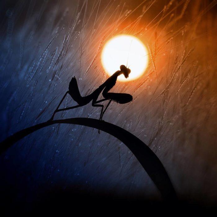 silueta de mantis religiosa a contra luz del sol