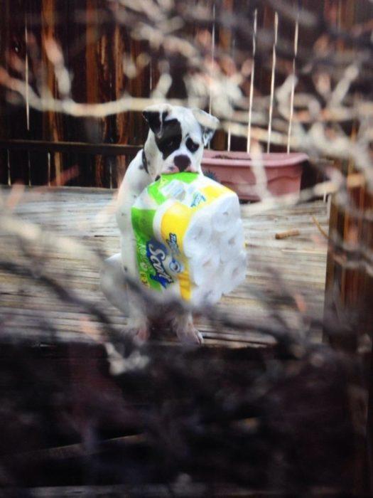 perro sostiene en su hocico paquete de papel higiénico