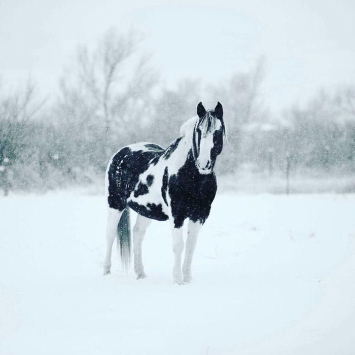 caballo pinto negro