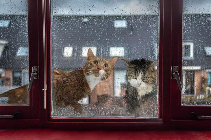 gatos mojados en día de lluvia mirando una ventana desde el exterior