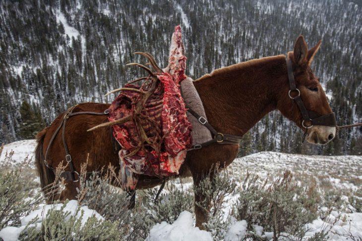 mula cargando restos de alce