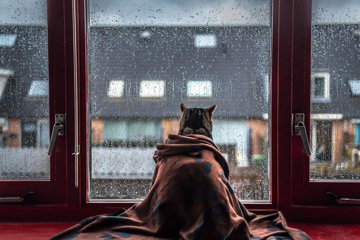gato cobijado con una manta mira como llueve desde el interior, a través de una ventana