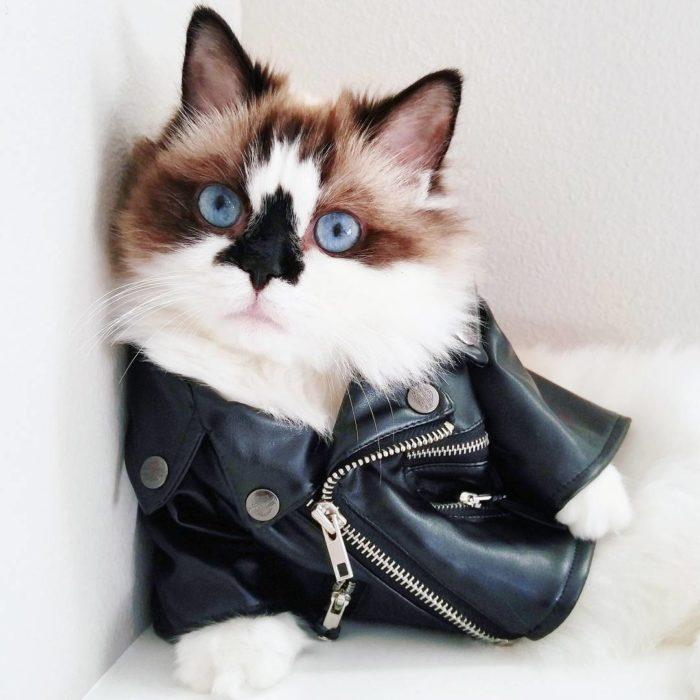 gato con chamarra de cuero tipo roquera