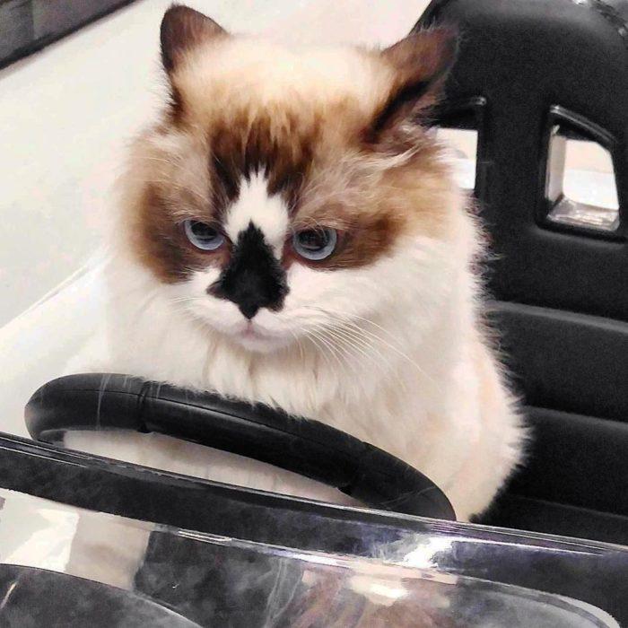 gato manejando